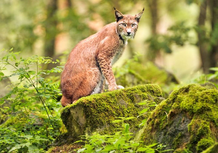 In Bavaria, lynx can be seen roaming around an enclosure in the Bayerischer Wald nature reserve. Seeing one in the wild is almost impossible.