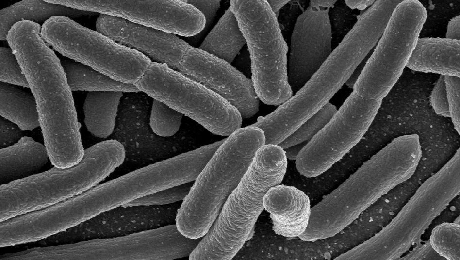 E.Coli-Bakterien (Mikroskopaufnahme): 40.000 Generationen in 21 Jahren