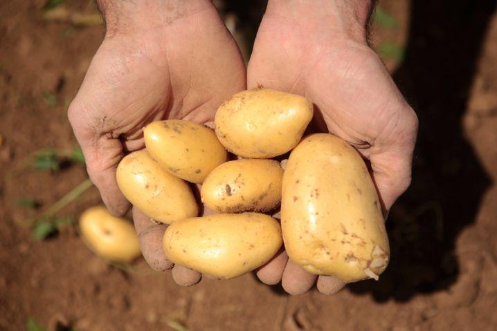 Kartoffeln: Auf gekeimte und grüne Stelle achten, sie sind giftig
