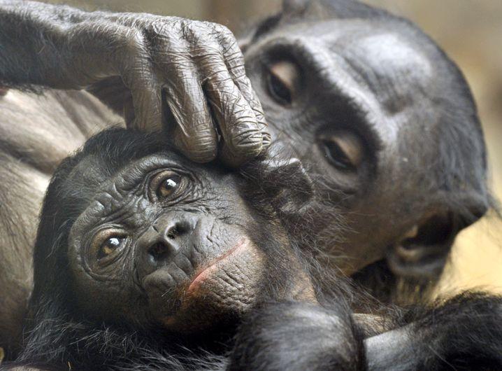 Zwei Bonobos beim Lausen.