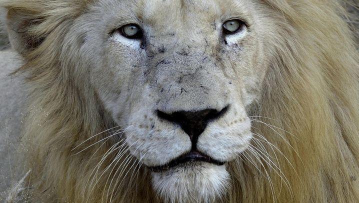 Löwen in Südafrika: Weiß wie Schnee