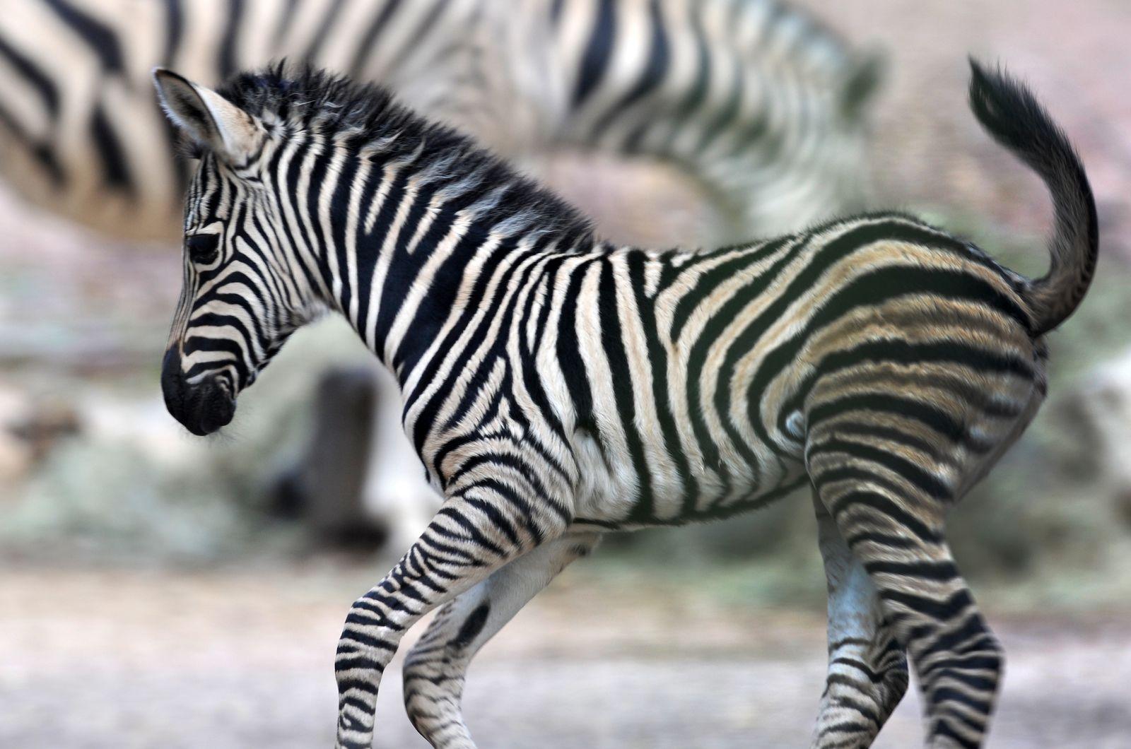 Zebrafohlen Ubangi