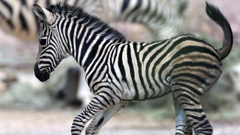 """Zebrafohlen """"Ubangi"""" aus dem Zoo in Dresden"""