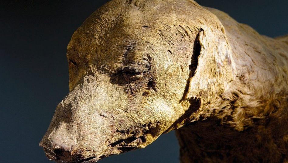 Altägyptische Hundemumie (aus dem Tal der Könige bei Luxor)