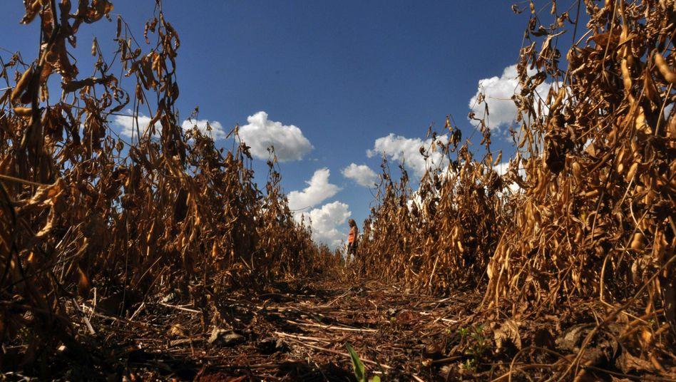 Vertrocknete Sojabohnen in Paraguay: Angst vor einer Lebensmittelkrise