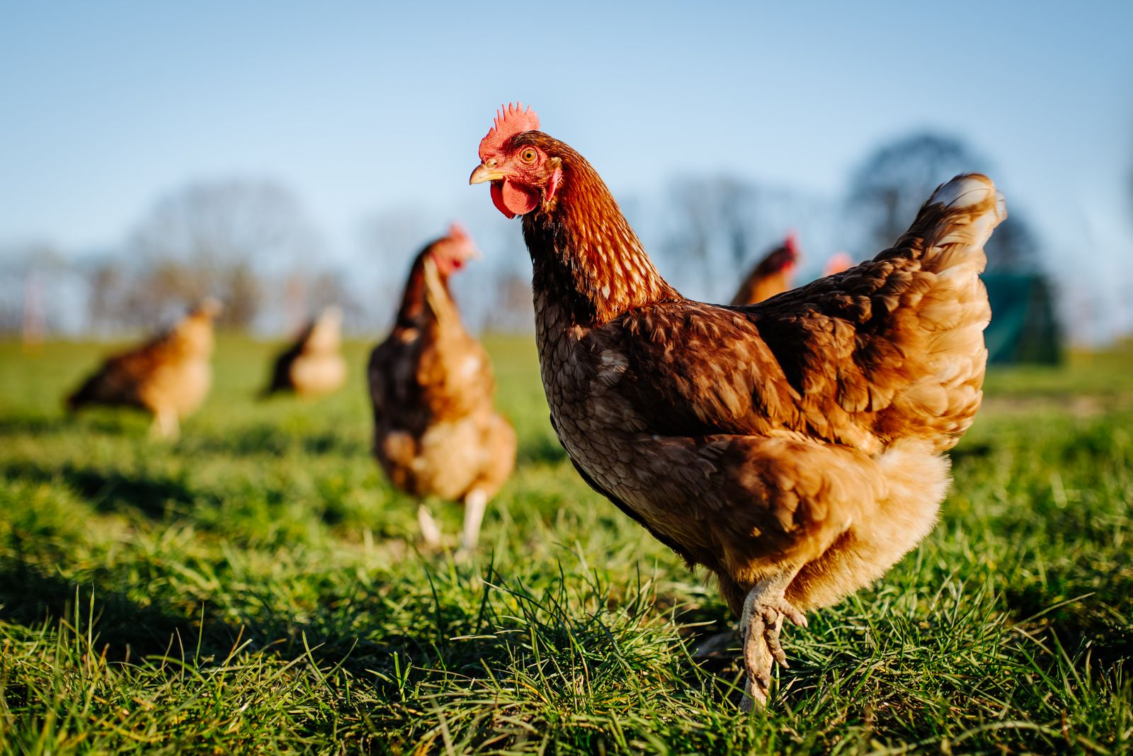 Chicken or hen on a green meadow.