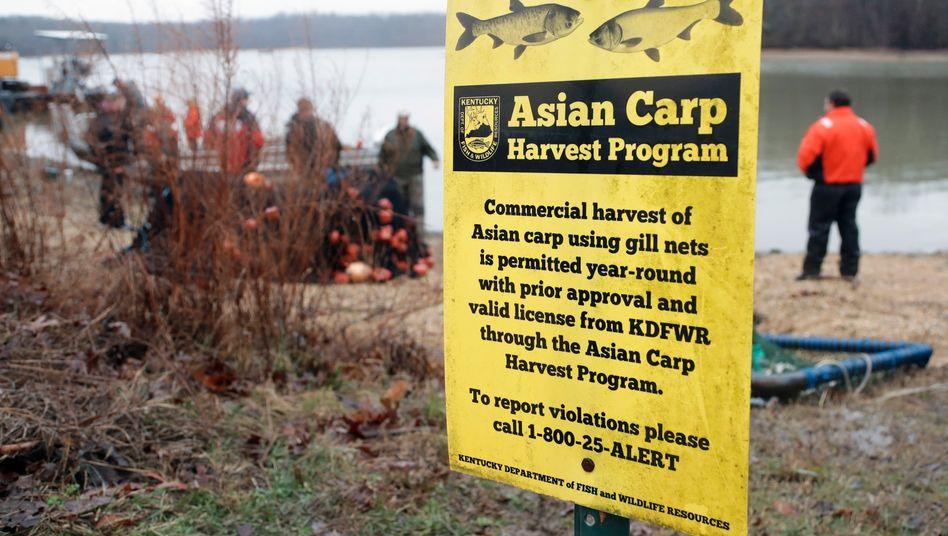 Hinweis auf Karpfenfang: US-Fischesser waren bisher wenig begeistert von den Tieren
