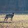 Regeln für Abschuss von Wölfen gelockert