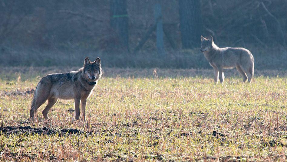 """Wölfe in Niedersachen (Archivbild von 2016): Das Tier links im Bild sorgte als """"Problemwolf Kurti"""" für Schlagzeilen"""