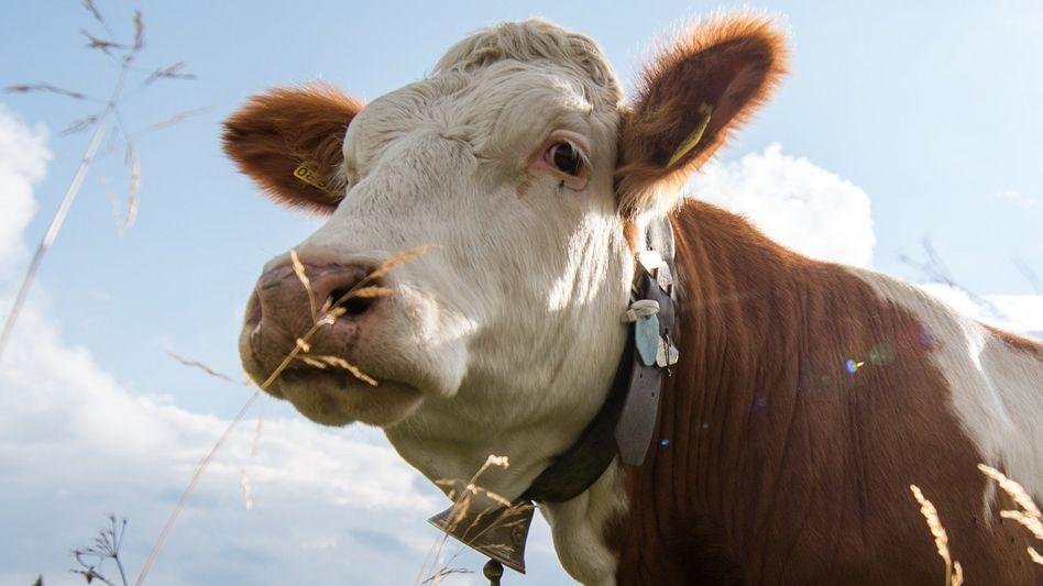 Palim palim, macht die Kuh