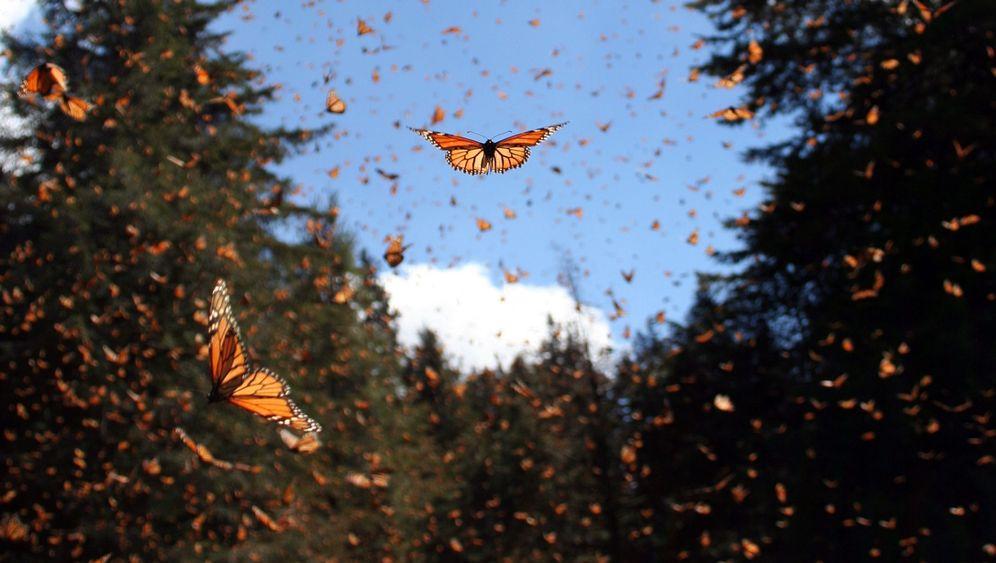 Fotostrecke: Die Invasion der Monarchfalter