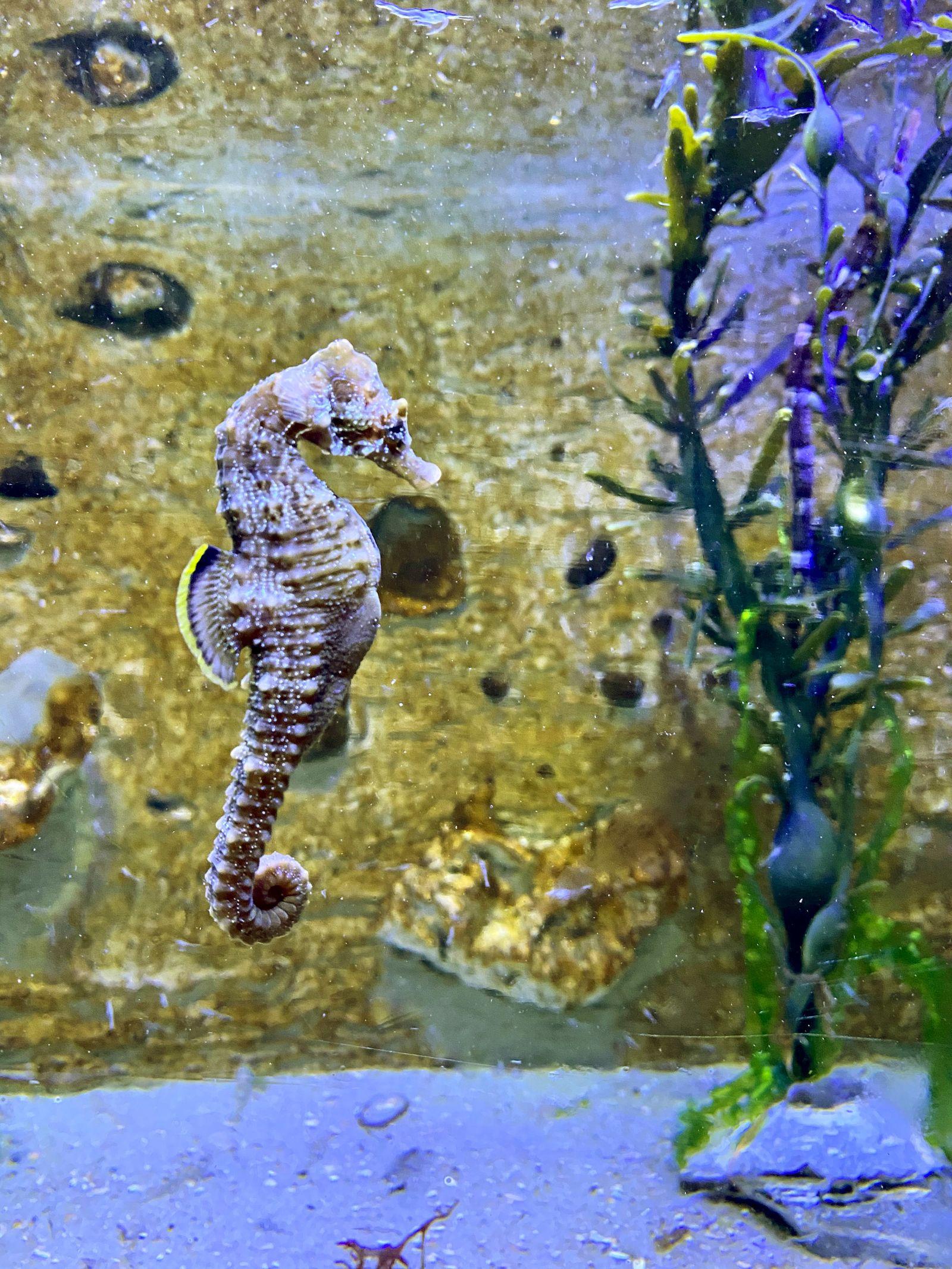 Kurzschnäuziges Seepferdchen