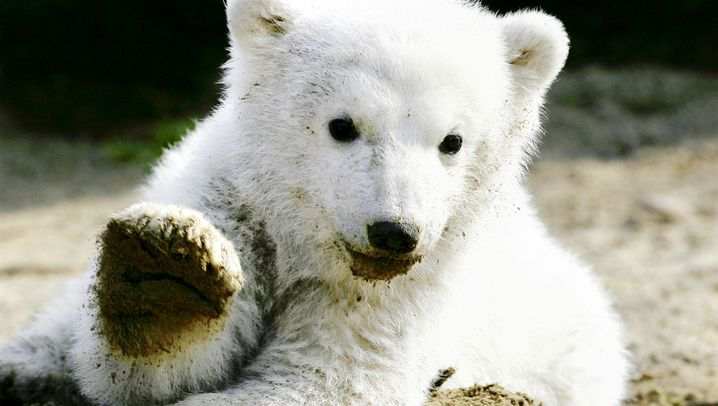 Knut ist tot: Ein Eisbärleben in Bildern