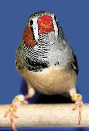 Vogel-Gynander: Zur einen Hälfte Fink, zur anderen Finkin