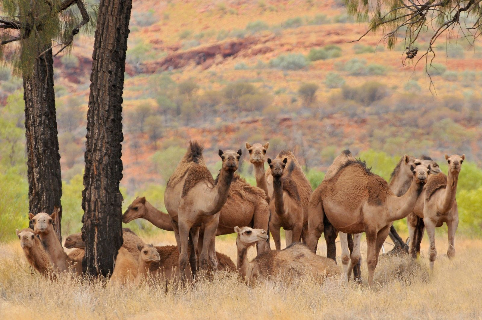 Australia, Outback, Northern Territory, Australian feral dromedary camel