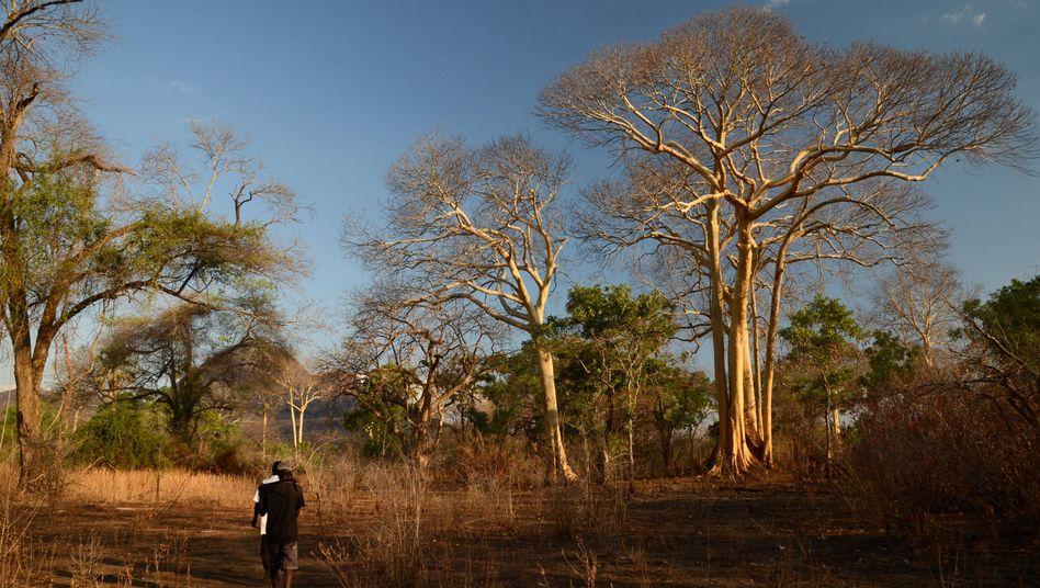 Honigsucher im Niassa National Reserve (Mosambik)