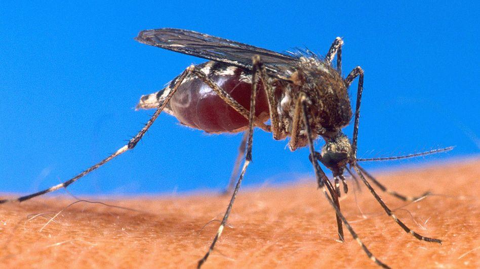 Malaria wird hauptsächlich durch Stechmücken in den Tropen oder Subtropen übertragen