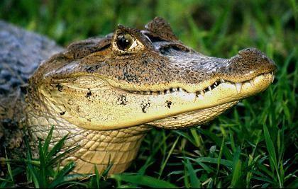 Alligator: Jungen koordinieren gemeinsames Schlüpfen