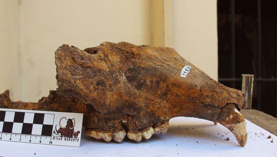 Schädel eines Höhlenbärs in einem Museum