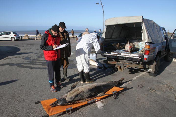 Ein toter Delfine wird in Grayan-Et-L'Hopital (Département Gironde) auf einen Transporter geladen