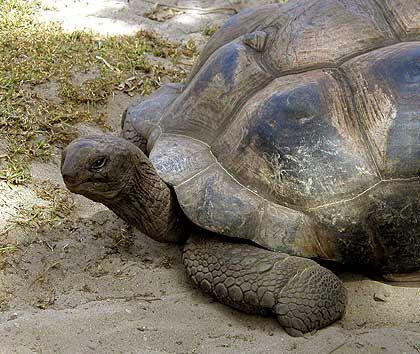 Schildkröte: Die Umweltgesetze auf den Seychellen gehören zu den strengsten der Welt