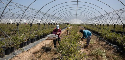 Blueberries for Europe: Portugal Mortgages Its Future for Present-Day Agricultural Profits