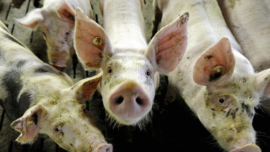 Mastschweine: »Die Margen mancher Tierärzte sind höher als die von Kokain-Dealern«