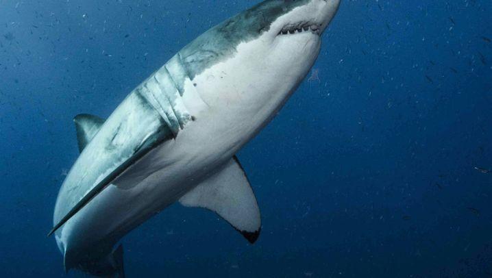 Weißer Hai: Meeresgigant auf Bummeltour