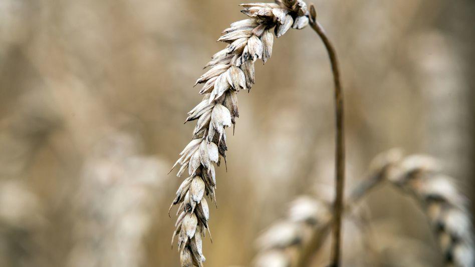 Manche Getreidesorten enthalten das Klebereiweiß Gluten
