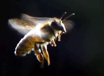 Biene: Alkohol lässt auch Insekten nicht unbeeindruckt