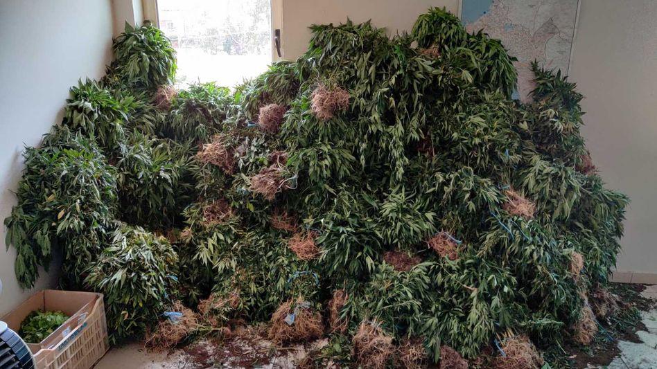 Ernte von der Cannabisanlage: Die Polizei fand etwa 4300 Pflanzen