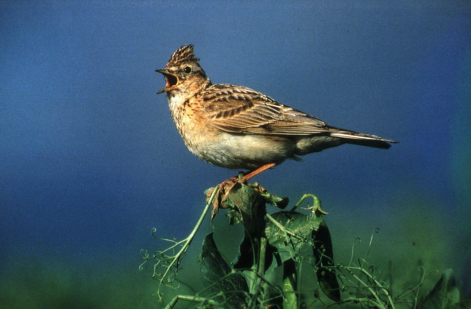 Wenig Platz für Kiebitz und Feldlerche - viele Brutvögel gefährdet