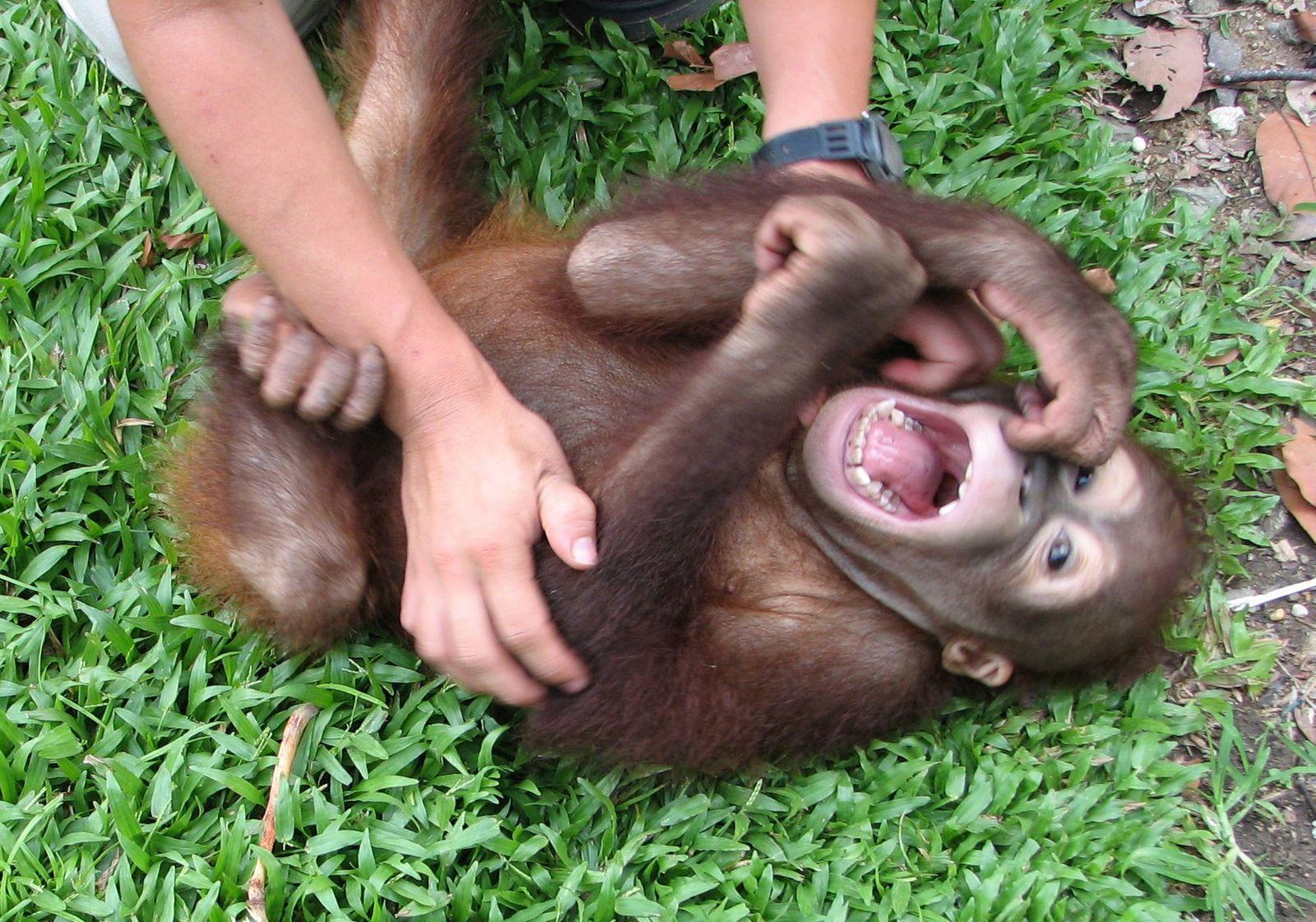 Wie kitzelig - da kichern selbst die Affen ...