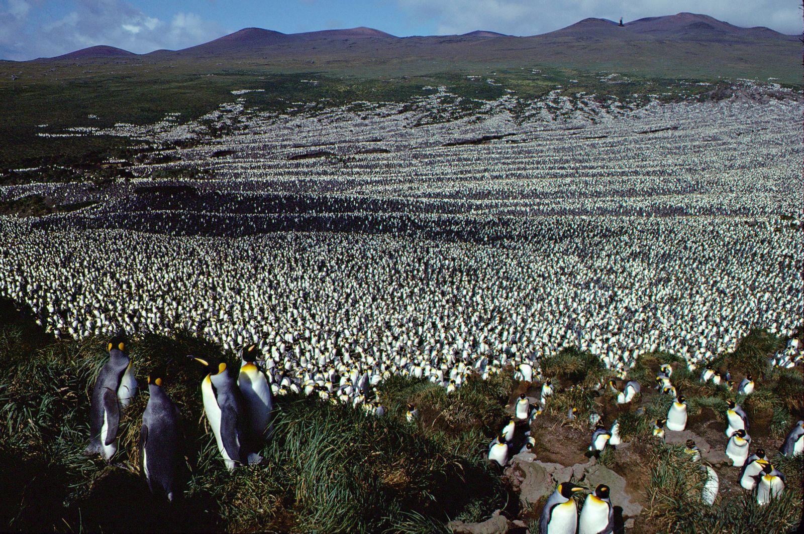 Pinguinkolonie auf Ile aux Cochons