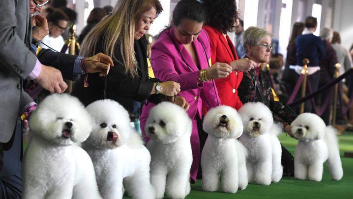 Westminster Dog Show: Knuff! Knuff!