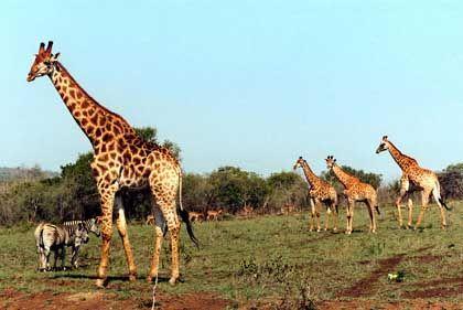 Giraffen in der Hügellandschaft: Der Hluhluwe-Umfolozi-Nationalpark gehört zu den ältesten Afrikas