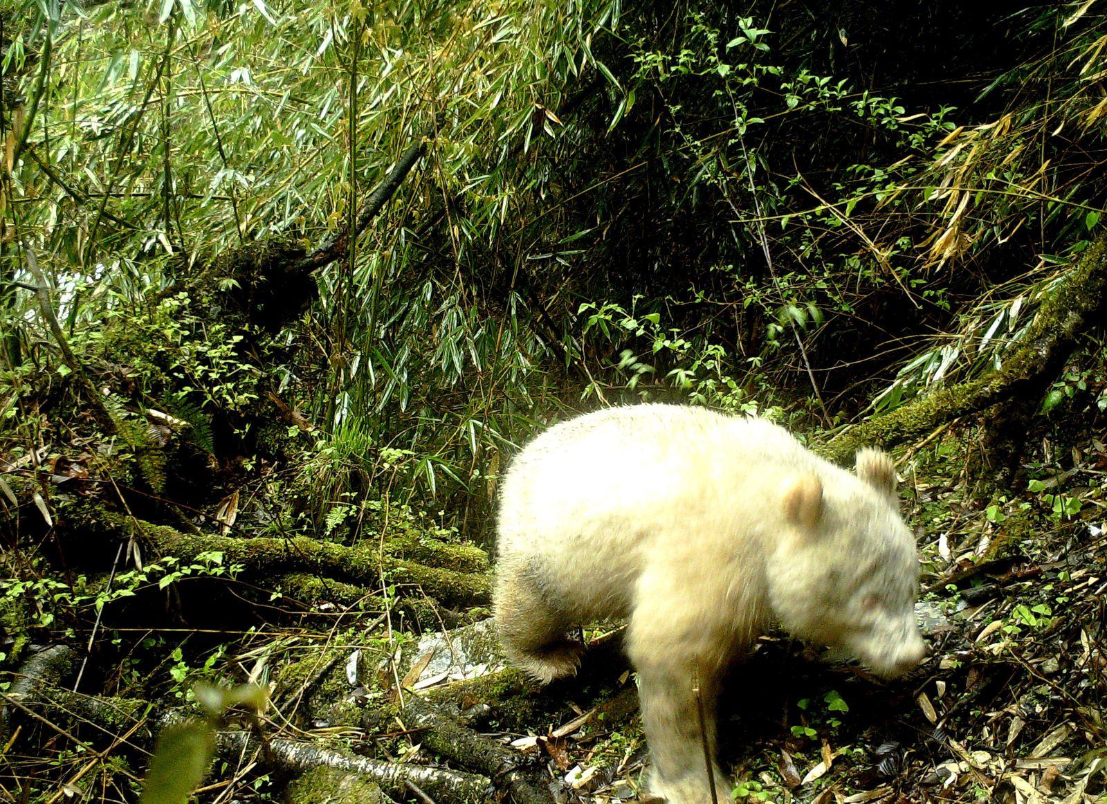 EINMALIGE VERWENDUNG Albino-Panda/ China