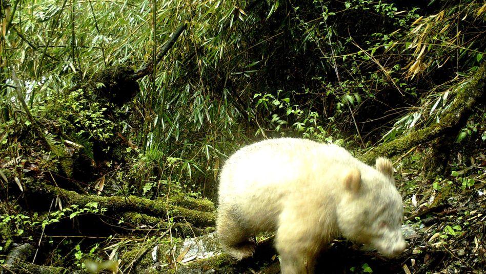 Foto des seltenen Albino-Pandas, aufgenommen am 20. April im Wolong-Nationalpark