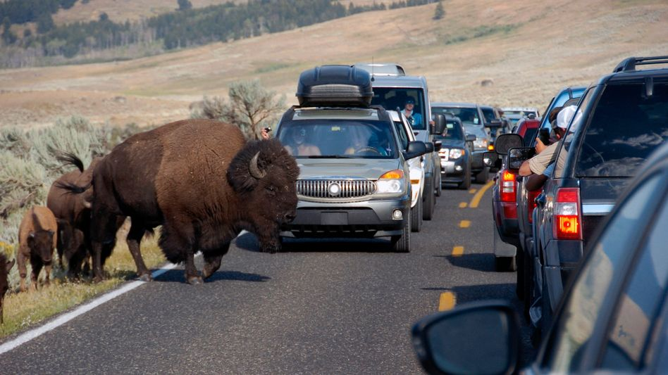 Bisons im Yellowstone-Nationalpark (Archiv)