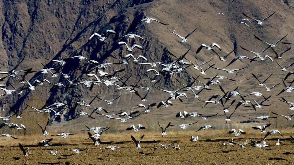 Gänse im Himalaja: Fliegen unter Sauerstoffmangel
