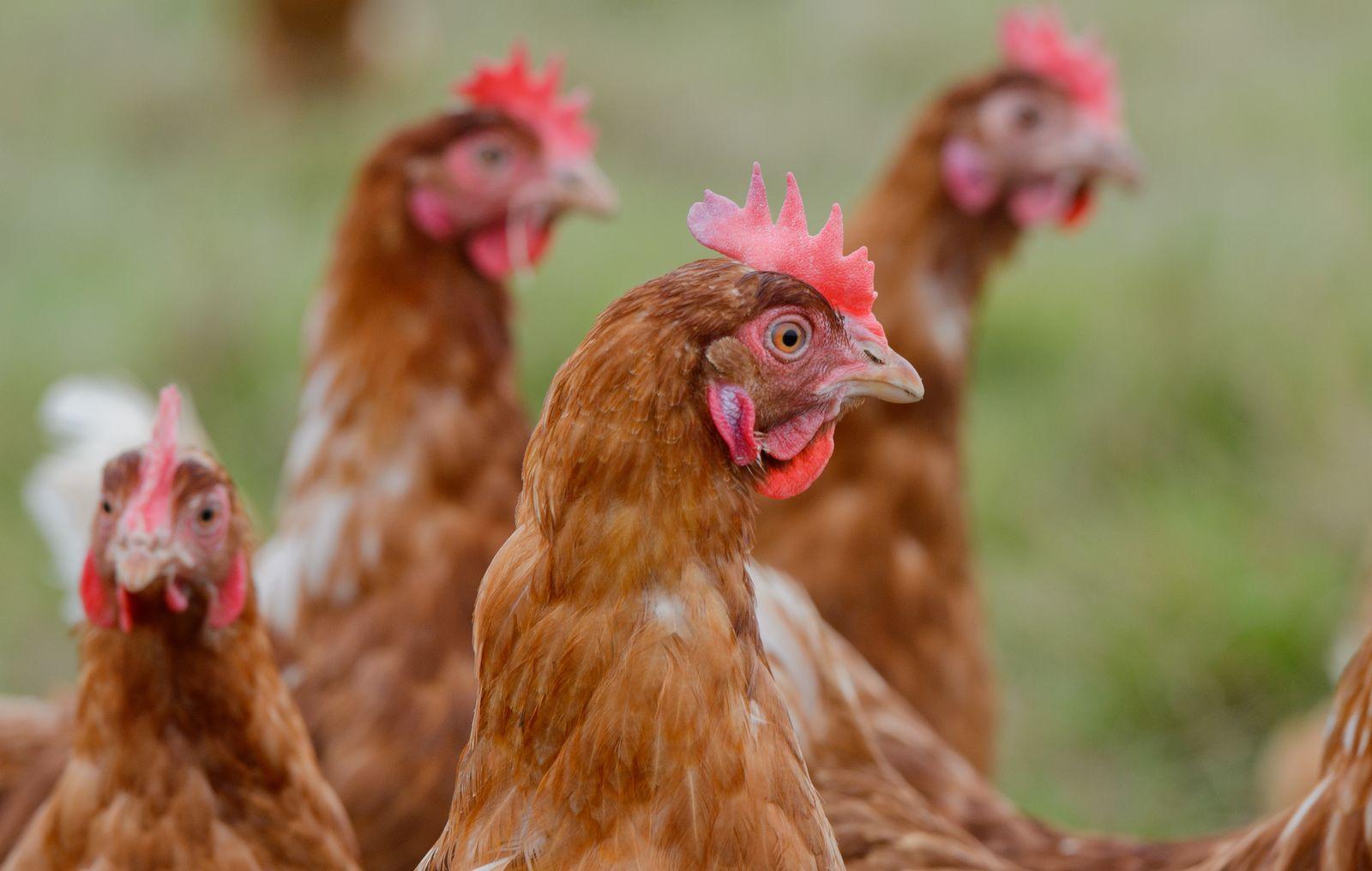 Legehennen / Hühner / Selbstversorgung