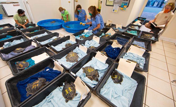 Von freiwilligen Piloten geflogene Schildkröten: können bis zu 45 Kilogramm schwer werden