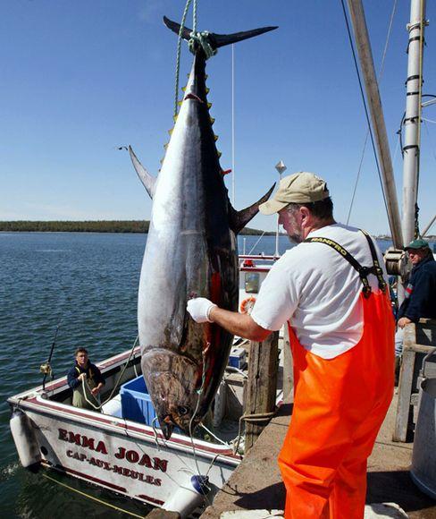 Thunfisch: Vielerorts stehen die Bestände vor dem Kollaps