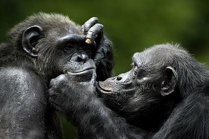 Schimpansen: Echten Altruismus gibt es offenbar auch im Tierreich