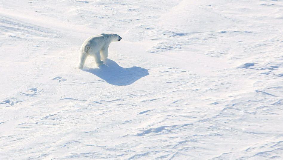 Eisbär unweit des Nordpols (im April 2015): 1.191.347 Quadratkilometer Meeresboden sollen russisch werden