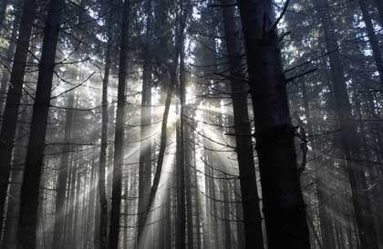 Nadelwald: Gehölze in miserablem Zustand