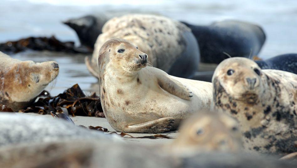 Kegelrobbe am Strand der Düne vor Helgoland: Hauptmahlzeit Fisch