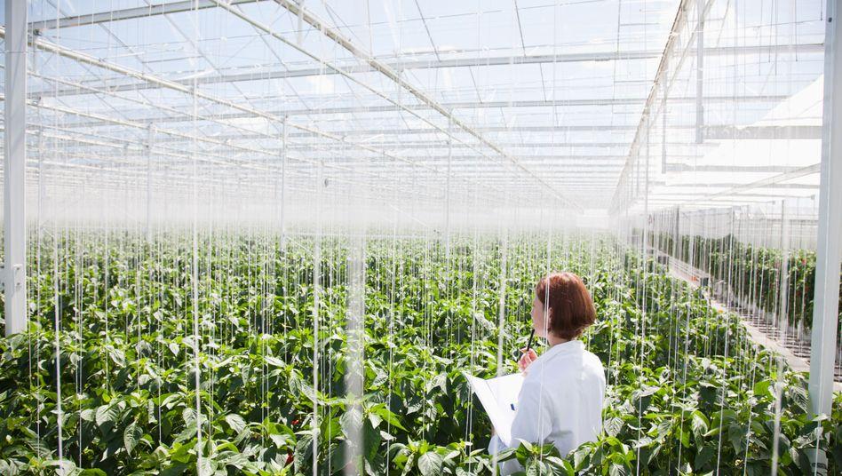 Zuchtpflanzen im Gewächshaus: Allein durch Sonnenstrahlung entstehen massenhaft Mutationen