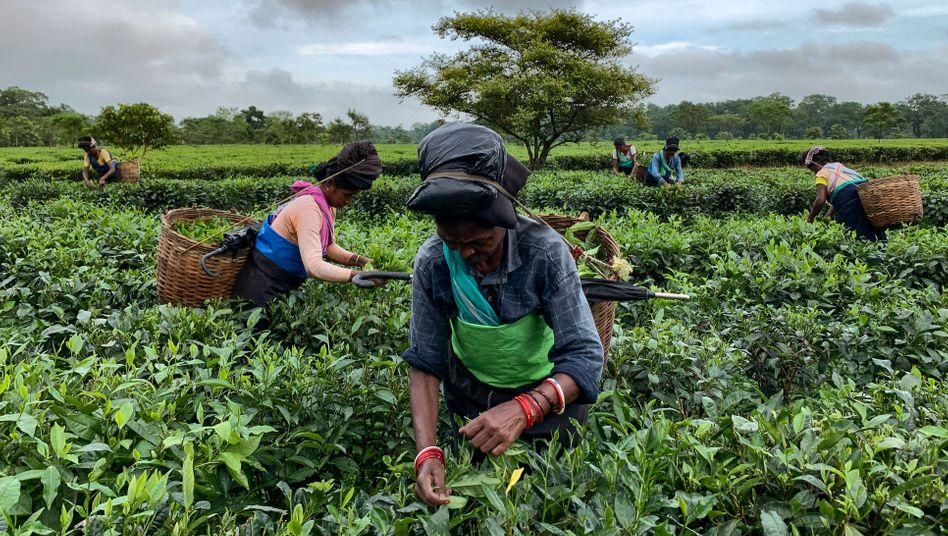 Teepflückerinnen in Assam, Indien