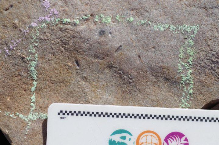 Spuren von Ikaria wariootia im Gestein: Zwei bis sieben Millimeter langer Organismus